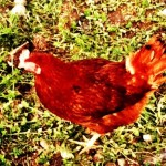 free range chickens. Image of a brown hen